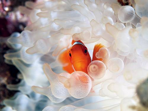clownfish-bubble-tipped-anemone